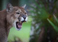 Florida panther snarls in displeasure
