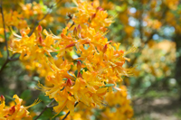 Flowering branches of Florida Flame