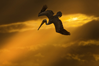 Flying Pelican at Naples sunset
