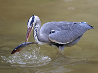 Great Blue Heron catching a fish