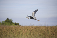 Great Blue Heron in flight in the Florida Everglades