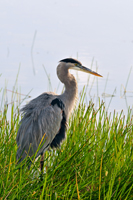 Great Blue Heron in Florida wetland