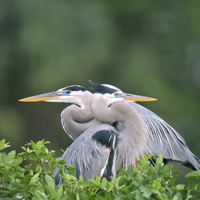 Great Blue Heron male and female at nest