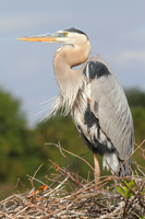 Great Blue Heron on a nest