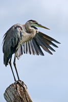 Great Blue Heron on tree stump