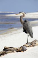 Great Blue Heron resting on Bear Foot beach