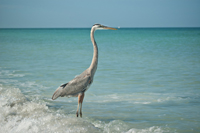 Great Blue Heron stands in the shallow waters