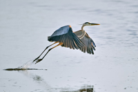 Great Blue Heron takes flight in Naples
