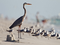Great Blue Heron walking amongst Sea Gulls