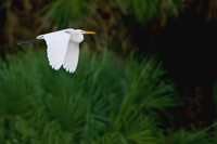 Great White Egret in flight over Florida wetland