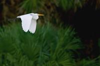 Great White Egret in flight over Florida wetland