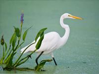 Great White Egret in Florida wetland marsh