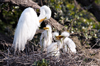 Great White Egret in nest with active chicks
