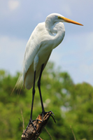 Great White Egret perched on tree limb