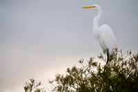 Great White Egret posed in cypress tree