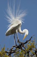 Great White Egret showing breeding plumage
