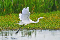 Great White Egret taking flight