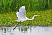 Great White Egret taking flight