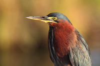 Green Heron in the Florida Everglades
