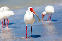 Group of Ibises on the beach of Naples