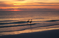 Herons at sunset on Naples beach