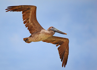 High flying Brown Pelican in Naples