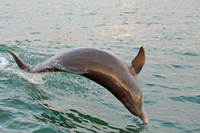 Jumping dolphin in Gulf of Mexico