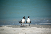 Laughing gulls at Naples beach