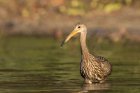 Limpkin wading through Florida backwaters