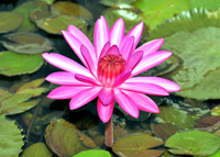Lotus flowers in Naples Florida