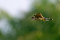 Merlin in flight with captured dragonfly