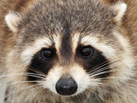 Mother Raccoon close-up in Naples