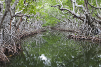 Narrow Mangrove passage in Florida