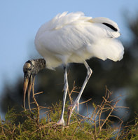 Nesting Wood Stork in south Florida