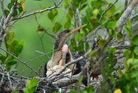 Newborn Anhinga chicks in nest