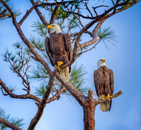 Pair of Bald Eagles in Naples Florida