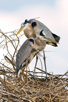 Pair of Great Blue Herons at their nest