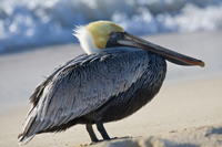 Pelican is resting on Naples beach