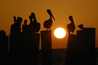 Pelicans at sunset in Naples