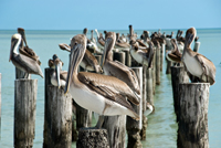 Pelicans standing on Naples pier posts