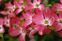 Pink dogwood blossoms in Naples