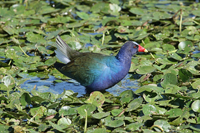 Purple Gallinule in Florida Everglades