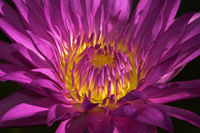 Purple and yellow water lily in Naples