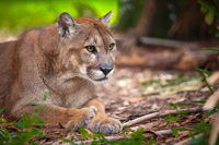 Rare sighting of an endanger Florida Panther