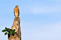 Red-shouldered Hawk perched on Naples tree