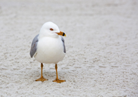 Ring-billed Gull at Naples beach