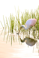 Roseate Spoonbill sifting through Florida pond