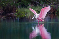 Rosette Spoonbill in the Florida Everglades