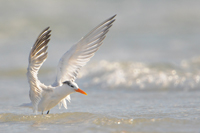 Royal Tern flying off from surf