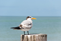 Royal Tern perched on pier in Naples
